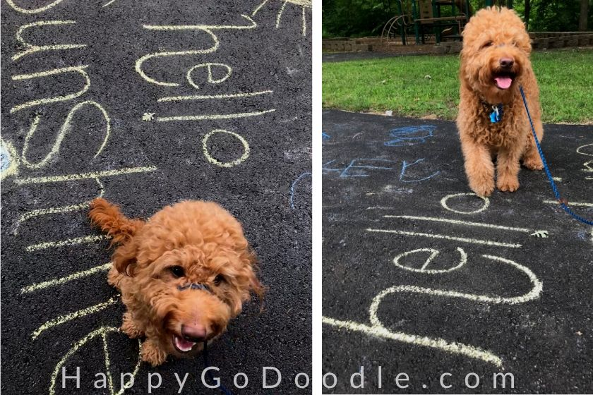 "adult Goldendoodle dog sitting by sidewalk chalk art that says, ""hello sunshine,"" photo."