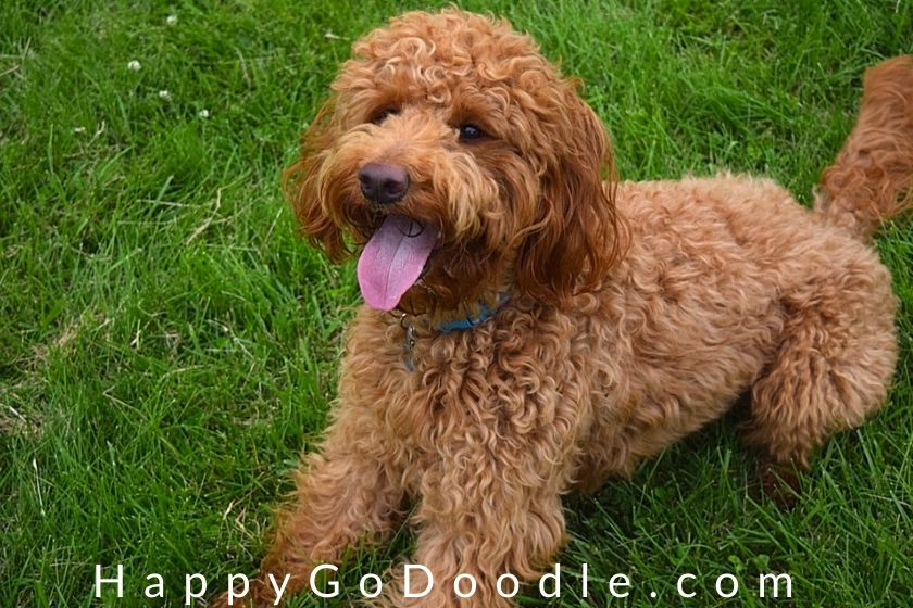 goldendoodle puppy with a loose wavy red coat type, photo