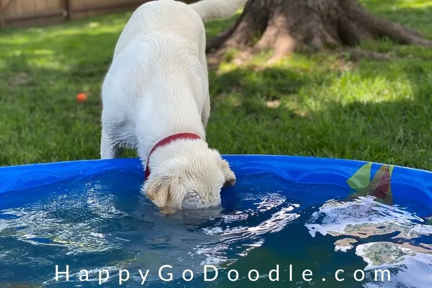 "Lab puppy dipping head clear under the water in a baby pool as example of ""wacky"" as a word that describes dogs, photo"
