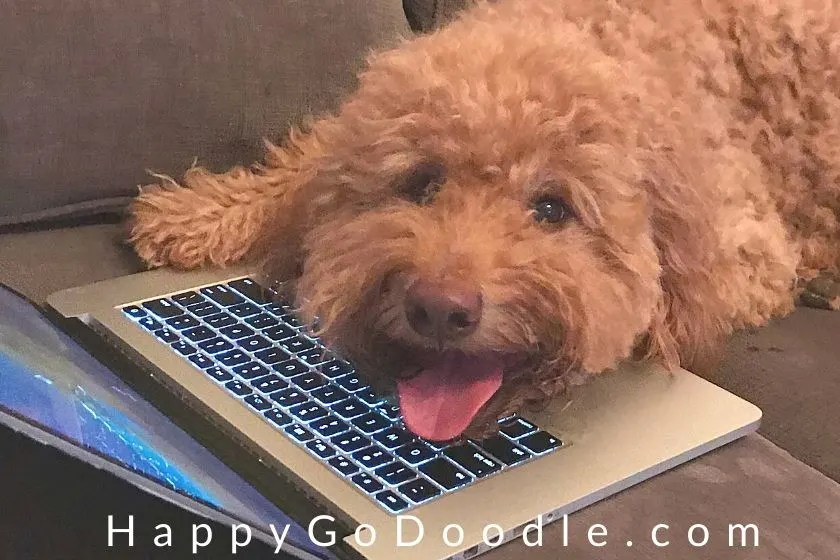 Happy Goldendoodle dog with smiley expression with head lying on laptop keyboard, photo