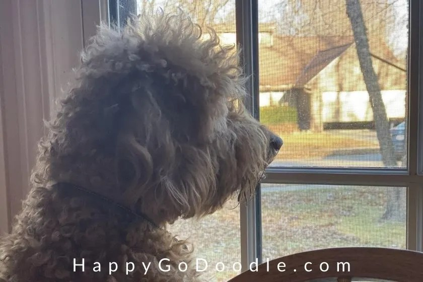 Adult Goldendoodle dog looking attentively out the window for a squirrel, photo