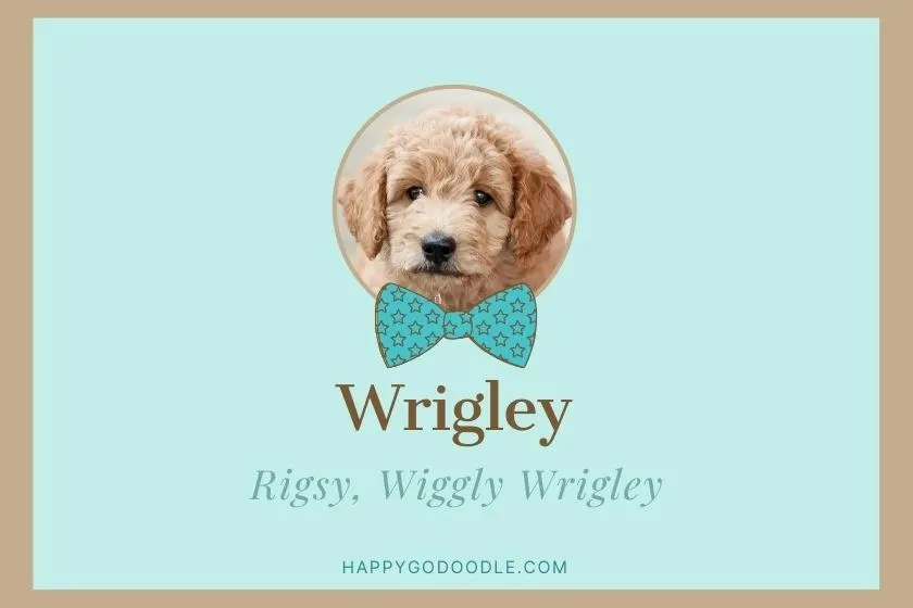photo of cream Goldendoodle puppy with name Wrigley and nickname Wiggly Wrigley