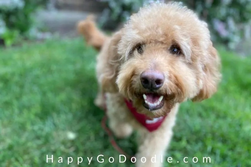 Adult Goldendoodle dog walking in green grass, photo
