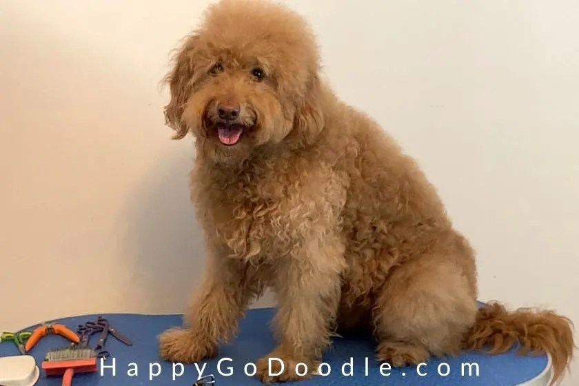 F1b red Goldendoodle sitting on grooming table, photo