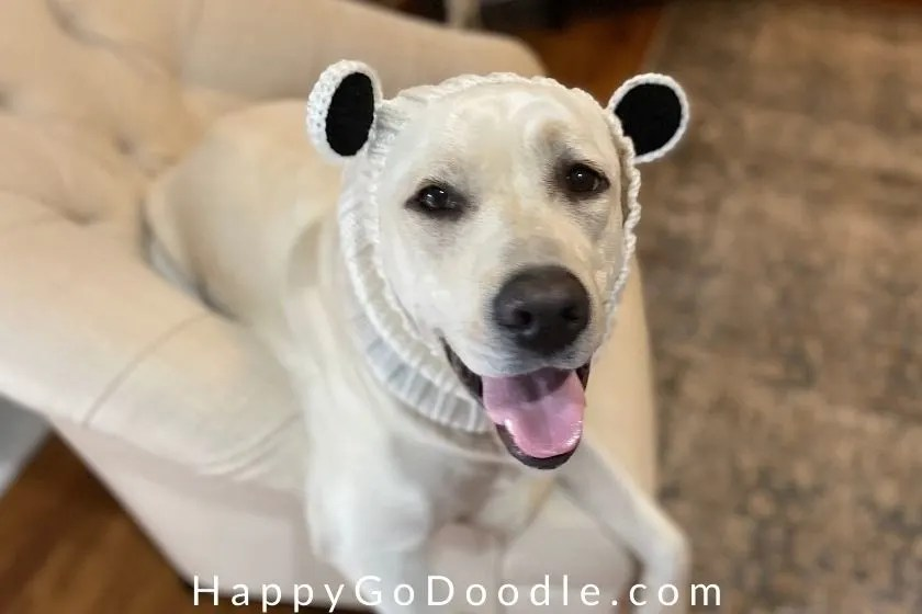 White dog with black nose and black eyes wearing a white panda bear dog snood, photo