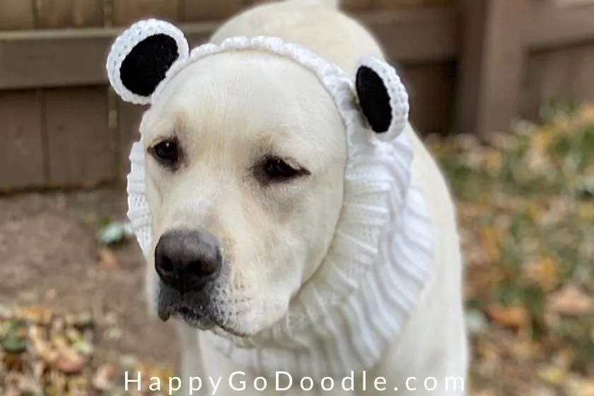 Close-up of a yellow Labrador Retriever wearing a bear-themed snood, photo
