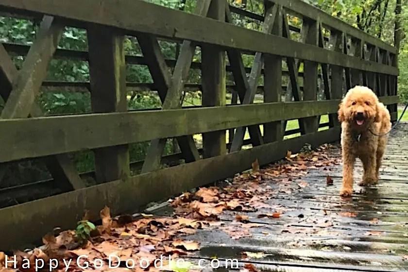 Dog walking on wooden bridge, photo