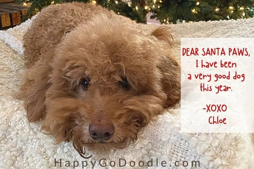 Red Goldendoodle dog with handwritten letter that says, Dear Santa Paws, I have been a very good dog, photo