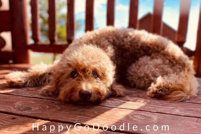 red senior goldendoodle lying on deck outside, photo