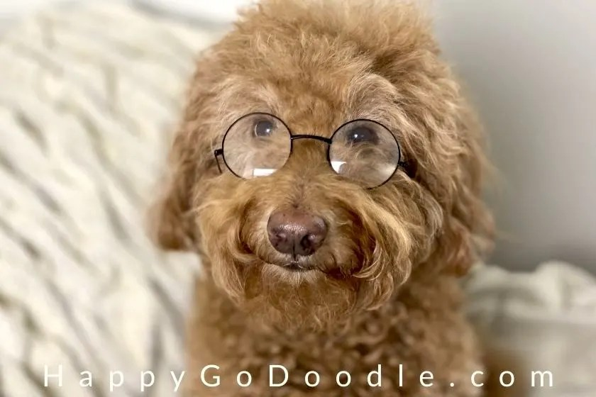 Adult Goldendoodle wearing glasses to look smart, photo