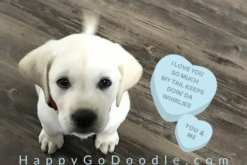 Labrador puppy with waggy tail and message on candy heart about tail doing whirlies