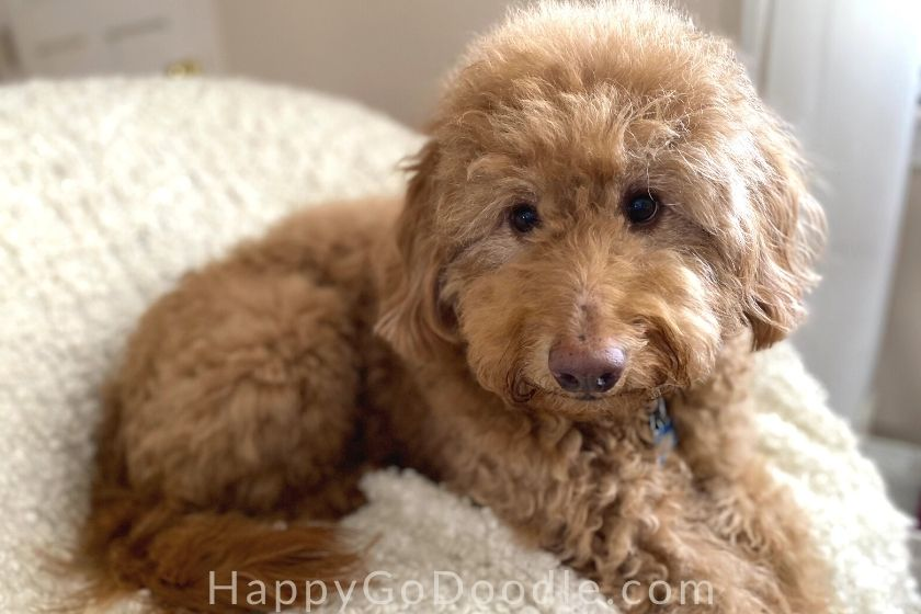 Adult red Goldendoodle with a teddy bear haircut sitting on armchair, photo