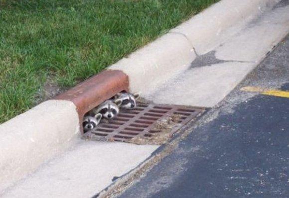 Funny Friday: Raccoon Peek-a-boo