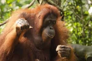 orangutan-681664_1280