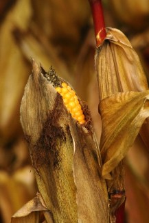 corn-on-the-cob-459189_1280