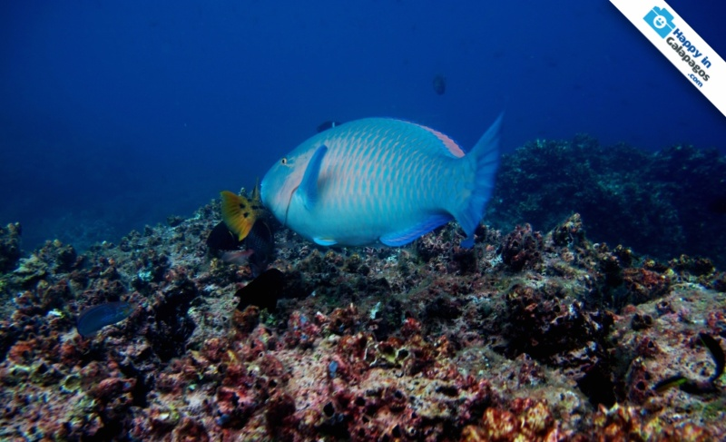 Galapagos Islands A Parrot Fish At Champion Islet In Floreana