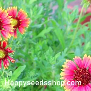 Summer flower seeds