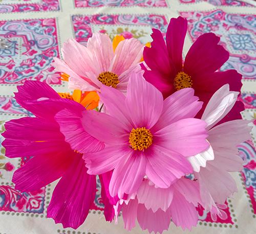 Cosmos Sensation mix color flowers shown in vase