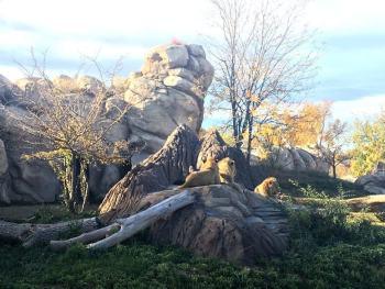 Denver Zoo Lions