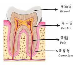 牙齒硬組織圖片介紹