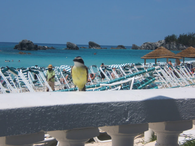 Great Kiskadee bird in Bermuda
