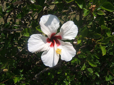 White flower in Bermuda