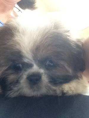 Shih Tzu puppy face