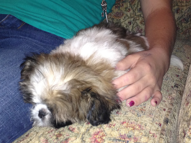 Shih Tzu puppy alseep on a chair