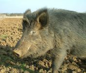 Photo of a pig in a field
