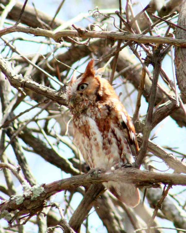 Owls are generally hard to see birds, but I got to see a few screech owls real good once.