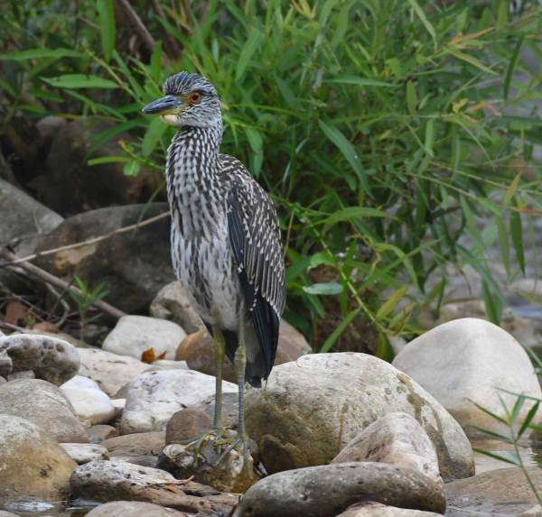 A juvenile Yellow Crowned Night Heron on the rocks at Ponca.