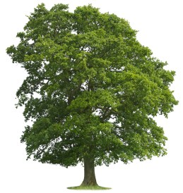 The Best Types of Trees to Plant for Shade