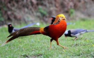 Harga Ayam Tibet Golden Pheasant