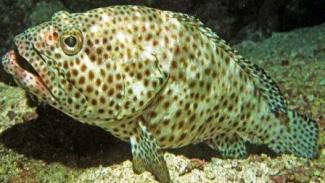 Harga Ikan Kerapu