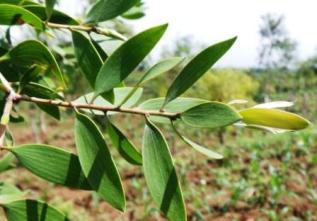 Pohon Gelam, Asal Mula Minyak Kayu Putih