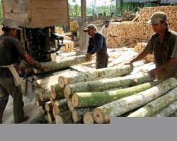 Harga kayu sengon per batang