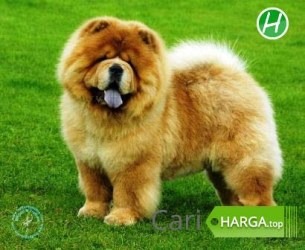 Harga Anjing Chow Chow