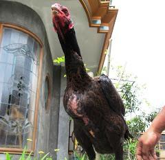 Ayam saigon indukan betina