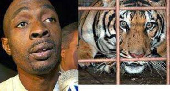 500 Lb Tiger And Man In Harlem