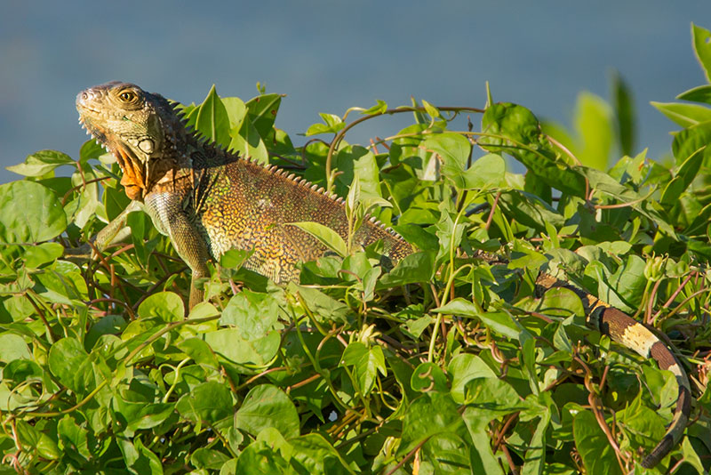 Jungle-Iguana-20141030-_ALL7282