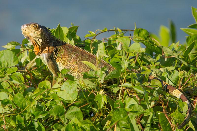 Jungle-Iguana-20141030-_ALL7282