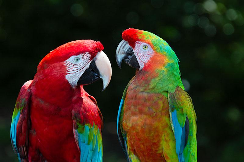 Hana Parrots