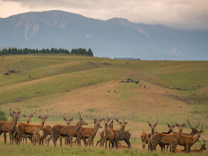 Deer raised for venison