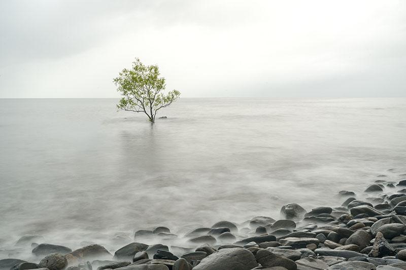 Lone Mangrove Tree