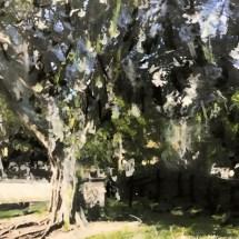 Banyan Tree No. 1