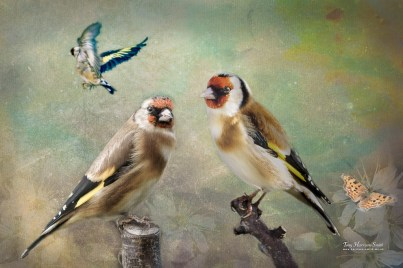 Three is a crowd - A collection of images of the Goldfinches in the garden.