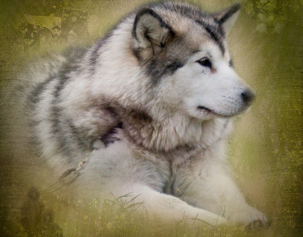 Malamute waiting to work.