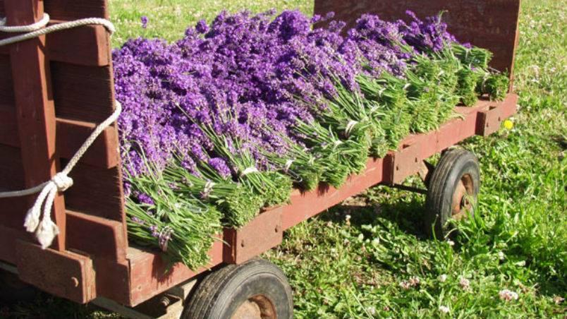Lavender a little patch of heaven