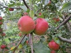 snack_apples2
