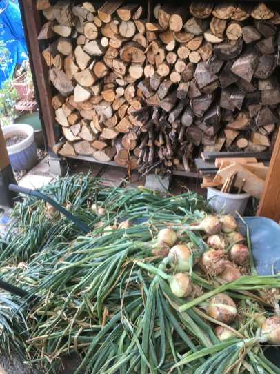 Onions gathered for storage.